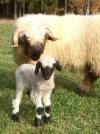 Schwarznasen-Schafe/Blacknose sheep